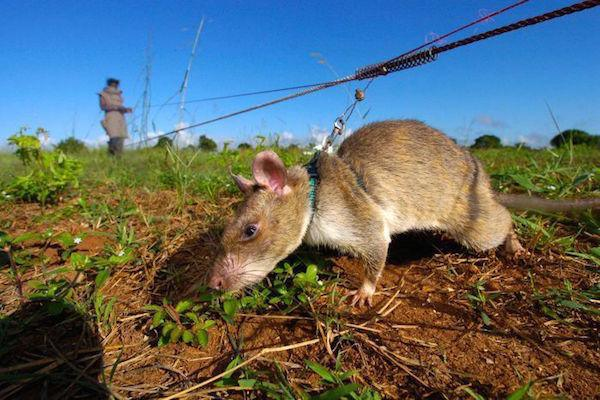 http://thechive.com/2015/05/25/rats-in-africa-are-saving-tons-of-lives-in-the-most-badass-way-possible-10-photos/#.aikpwx:BmJY